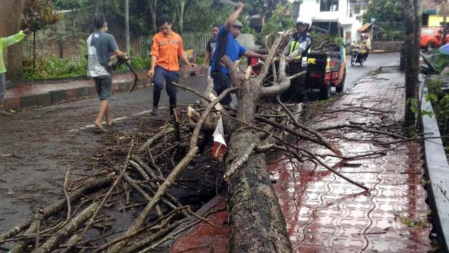 Diguyur Hujan dan Angin, Pohon di Jl Untung Suropati Kota Batu, Mendadak Tumbang