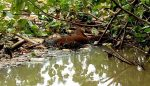 Mayat Misdi Korban Ganasnya Sungai Bondoyudo Ditemukan