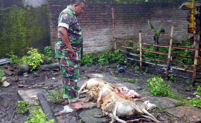 Pemangsa Kambing Gentayangan di Jember, Semalam Hisap Darah 5 Ekor