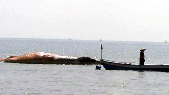 Paus Balin Ditemukan Mati Mengambang di Pantai Duta Randutatah Paiton