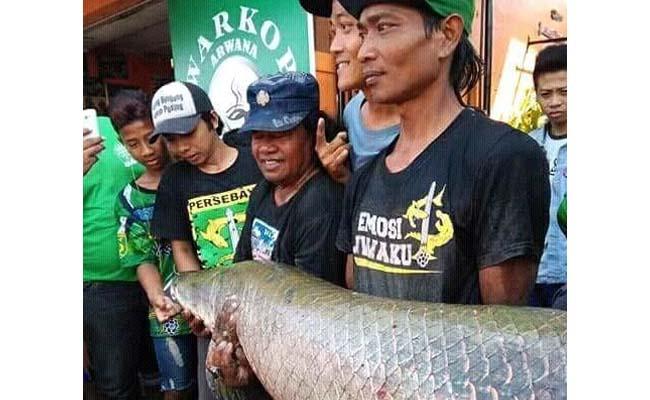 Warga Sukodono Geger Penangkapan Ikan Arapaima Gigas
