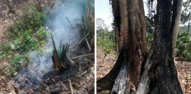 Bakar Puluhan Pohon, Oknum IPHPS Tambakrejo Sumawe Dibui