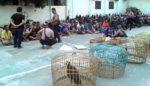 Judi Sabung Ayam Beromzet Ratusan Juta di Sidoarjo Digerebek Polisi