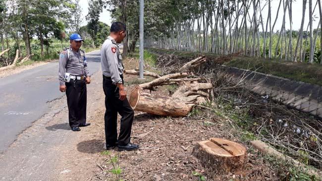 Pencurian Kayu Sonokeling di Tepi Jalan, Marak di Semboro dan Umbulsari Jember