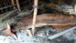 Diduga Keracunan Pakan Rumput, Enam Ekor Sapi Mendadak Mati