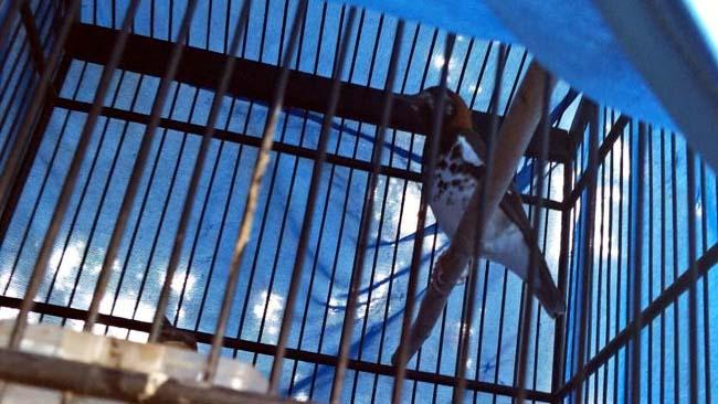 inilah burung Punglor milik korban . (ist)
