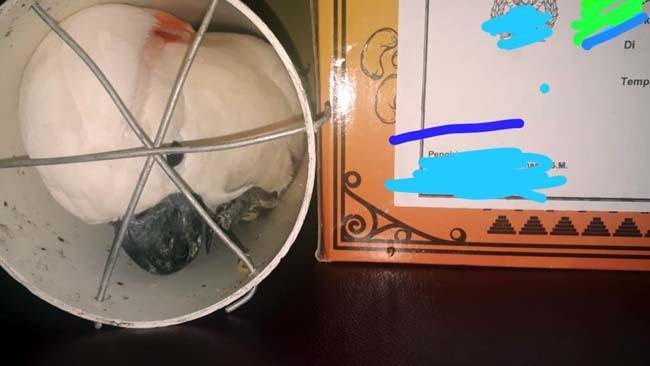 Warga Lesanpuro Jual Burung Kakatua dan Kasturi Kepala Hitam (2)